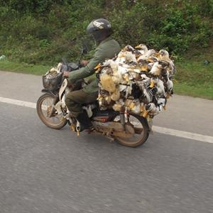 Ducks-on-motorbike-300x300
