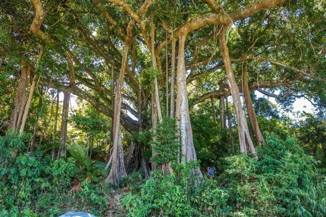 800-year old banyan tree, Monkey Mountain