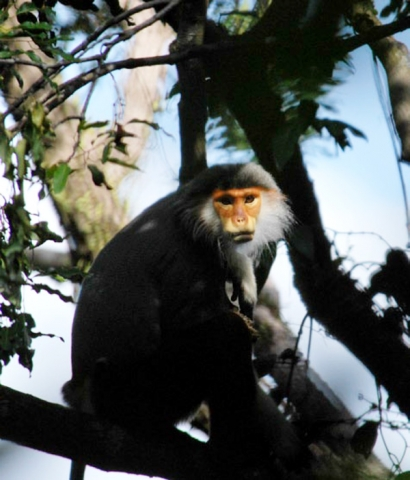 The endangered Red-shanked Duoc, Monkey Mountain