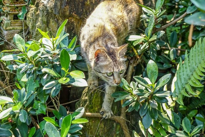 Jack's Cat Cafe, Hoi An. Ginger cat descending. _opt (14)