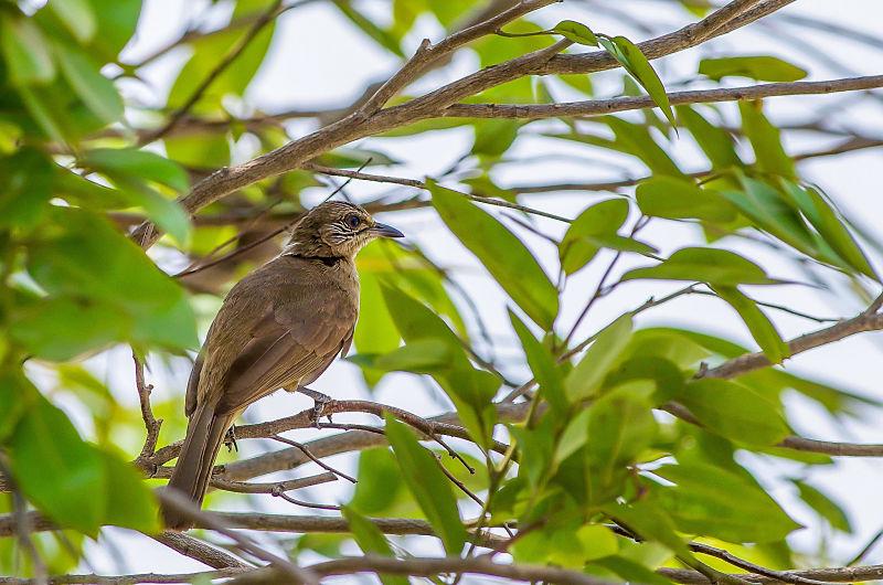 Wild Birds - Hoi An's Other Heritage. bulbul. Hoi An