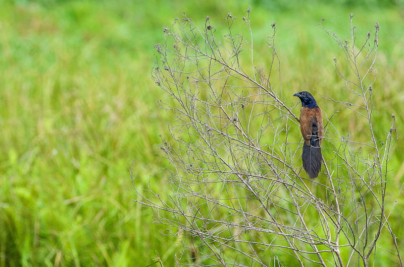 Wild Birds - Hoi An's Other Heritage. Coucal. Hoi An. Birdwatching