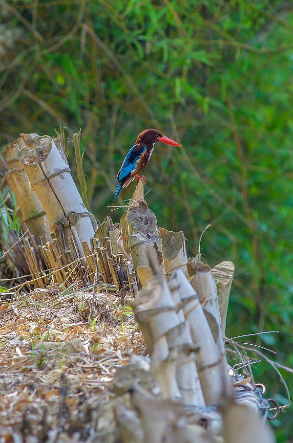 Wild Birds - Hoi An's Other Heritage. Kingfisher. Hoi An Birdwatching