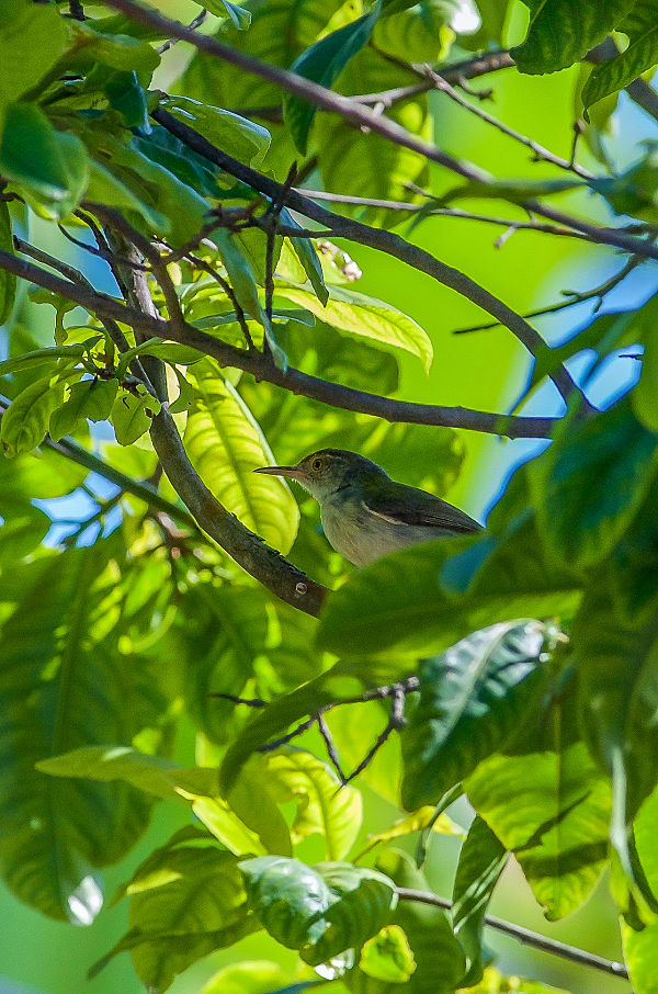 Wild Birds - Hoi An's Other Heritage. Common tailorbird. Hoi An. Birdwatching.