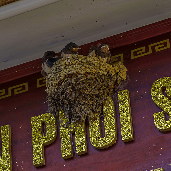 Wild Birds - Hoi An's Other Heritage. Barn swallow nest. Hoi An. Birdwatching