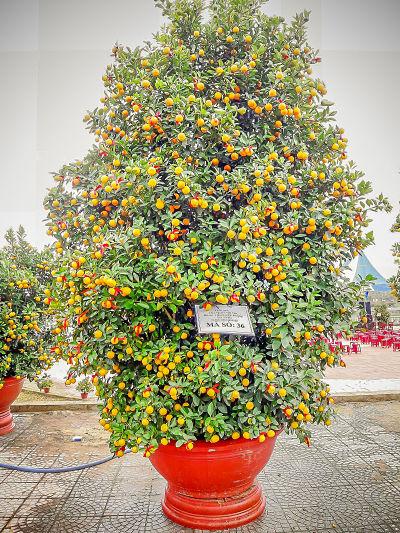 kumquat festival, Hoi An