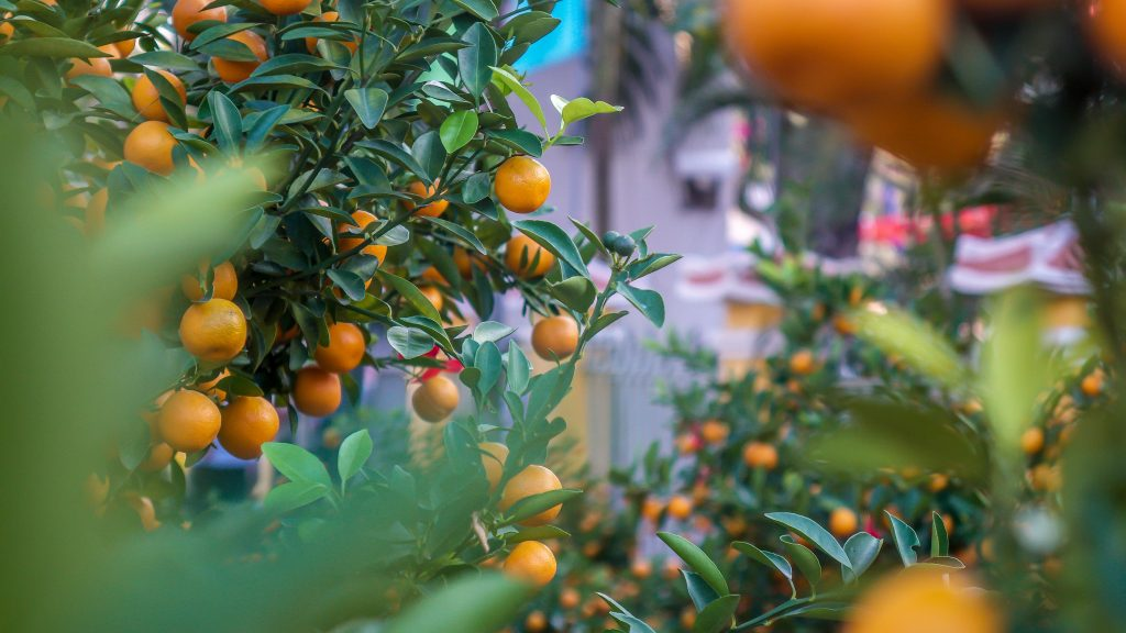 Guide to Tet. Hoi An Now Tet newsletter. kumquat trees 2