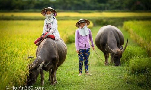 Do. Hoi An 360 Photo Tour. Hoi An Water Buffalo